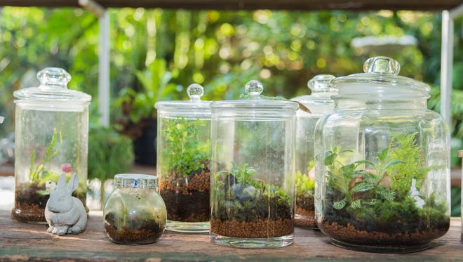 Terrarium containers may be a fishbowl, glass jug, a brandy snifter, tall Mason jars, or pitchers of glass or clear plastic. The more imagination you have the more fun they are.
