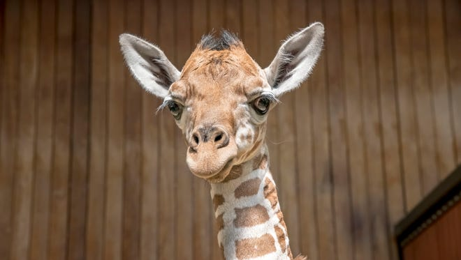 Kazi was born at the Milwaukee County Zoo on Sept. 2, 2017, weighing 152 pounds and measuring 5 feet 10 inches.