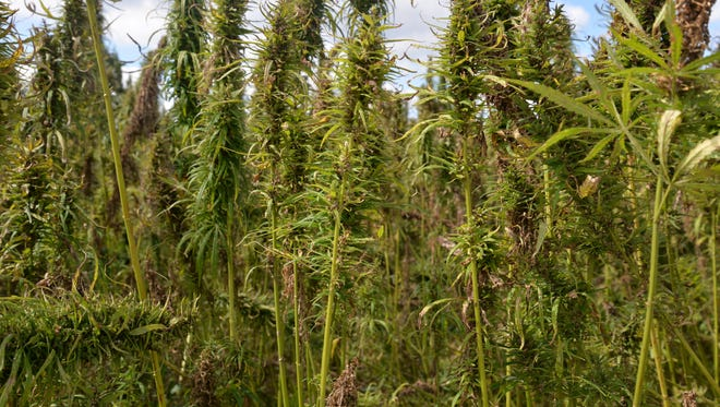 Industrial hemp out at Riverhill Farms in Port Republic, Virginia. The hemp is grown as part of a research project with James Madison University in Harrisonburg. On Friday, Sept. 15, 2017 the Virginia Industrial Hemp Coalition held a field day where hemp was harvested.