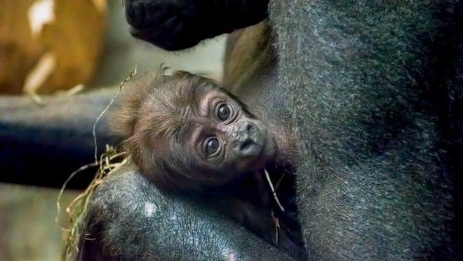 The Milwaukee County Zoo has announced the birth of a baby gorilla that has not been named.