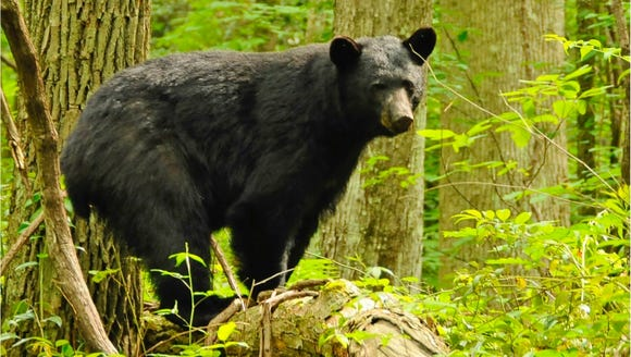 A black bear walks through a campground in the Great