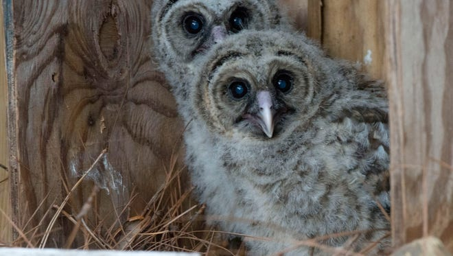 The Wildlife Sanctuary of Northwest Florida will hold it's annual Baby Shower and Supply Drive on Saturday April 9. The sanctuary takes care of orphaned or injured wild animals like these Barred Owls.