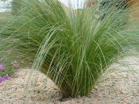 In part shade and well-irrigated, feather grass produces