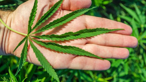 green marijuana in hand