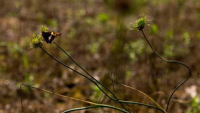 A butterfly rests on weeds on land recently acquired by Dunbar Cave. The land will be restored to a prairie grassland in a few years.