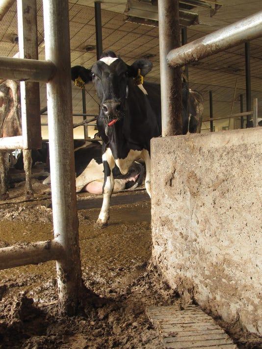 BUR20150903 Nordic Farm cow3