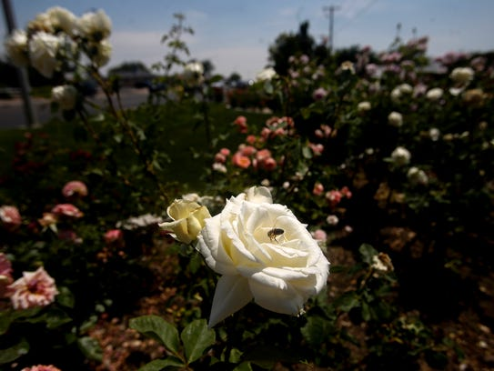 A bee lands on a rose Wednesday at the Pigford Rose Garden in Farmington.