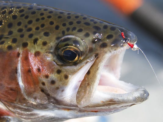 Hot weather, hot trout fishing at Taneycomo