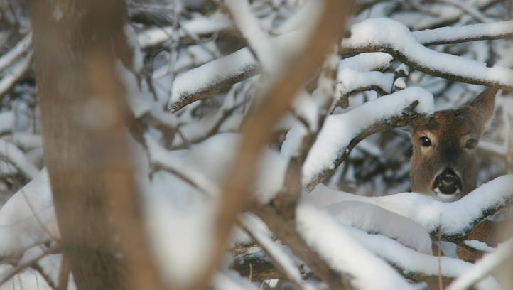 A deer is framed by snow covered branches near the