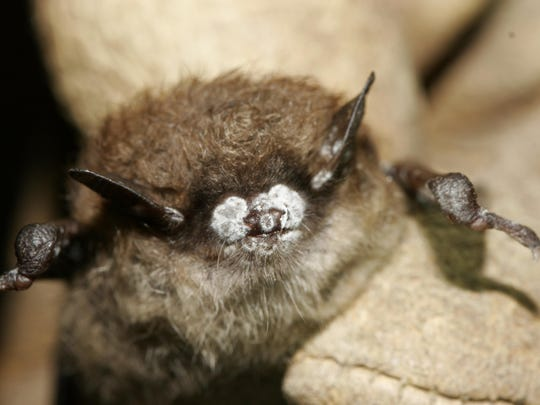 Bat fatalities from wind turbines are of special concern because white-nose syndrome has already decimated populations across the country. The fungus was discovered among little brown bats in New York, like this one from 2008.