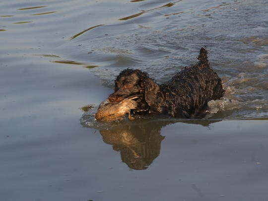 A retriever clutching a duck as she swims back toward her owner with her feathered trophy.