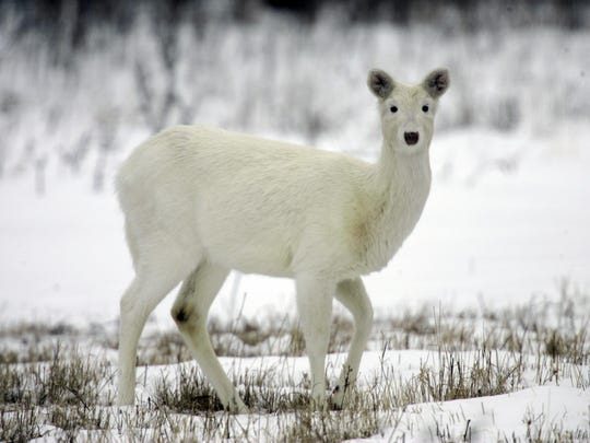 In this Feb. 27, 2007 file photo, a white white-tailed