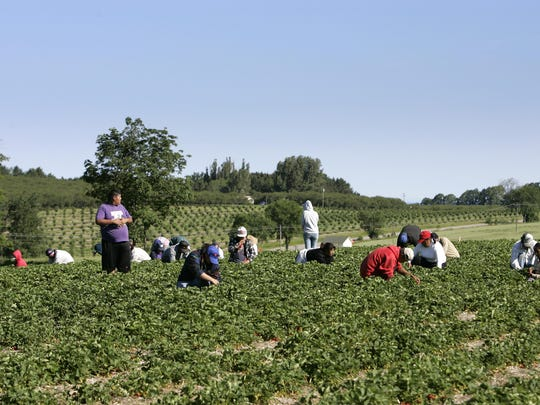 Migrant farm workers hunker down in the strawberry patch to hand pick berries at a farm in Lake Leelanau. Seasonal migrant workers are a necessity for farmers across Michigan who spend most of the year tending to the ground and about five months picking the fruits of their labor.