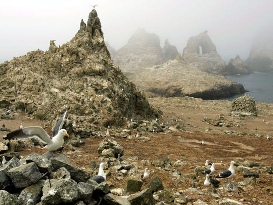 In this July 8, 2006, file photo, gulls are seen nesting