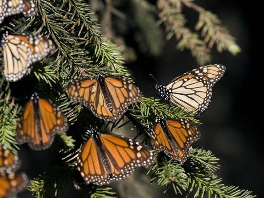 Picture of monarch butterflies (Danaus p
