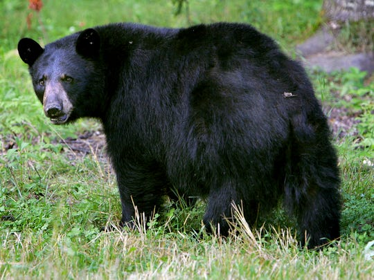 A Maine legislative committee decided in late May that proposals to overhaul the state's bear hunting rules will have to wait until the next legislative session in January.