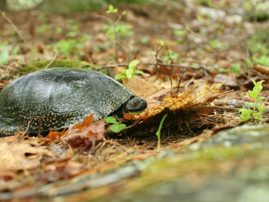 Blandings_turtle_on_ground_in_wild_emydoidea_blandingii.jpg