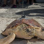 Fitted with a satellite tracking transmitter, a rehabilitated loggerhead sea turtle named Aaron makes its way to the ocean Friday at Sombrero Beach in Marathon, Fla.