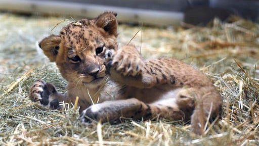 This Nov. 17, 2016 photo shows a 5-week-old lion plays with his leg in the hay of his enclosure at the Fresno Chaffee Zoo, in Fresno, Calif. The zoo is showing off a new lion cub and asking zoo-goers to choose his name.
