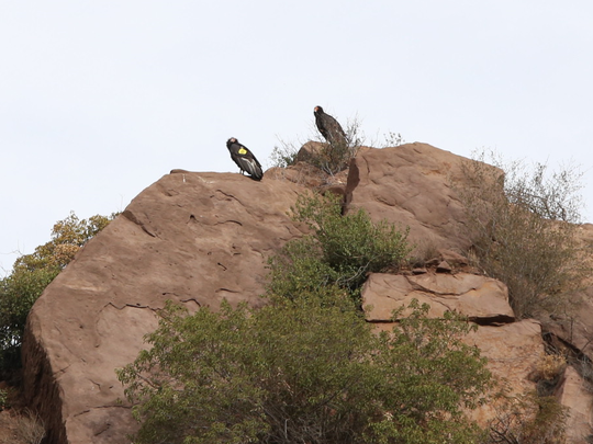 California condors No. 206 and No. 513 keep an eye on their chick.