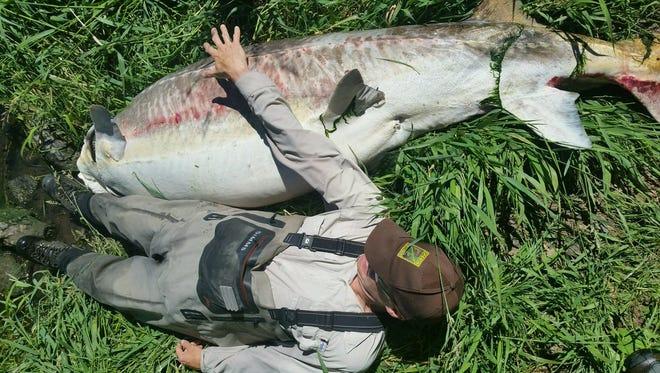 "A 9'6"" sturgeon found at Keno Dam in Klamath Lake."