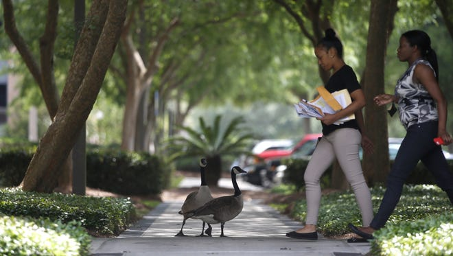 Canada geese and workers at the Capital Circle Office Complex in SouthWood share the sidewalks.