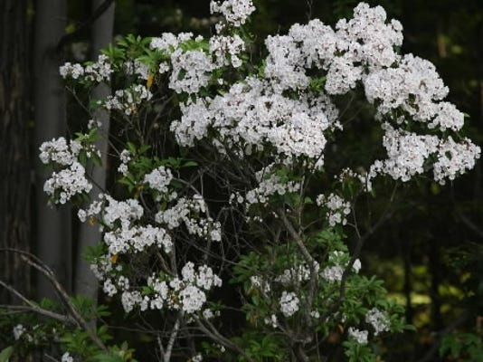 Luann Scruggs of West Manchester Township submitted this photo May 29. Scruggs writes,  Mountain Laurel day at Rocky Ridge.