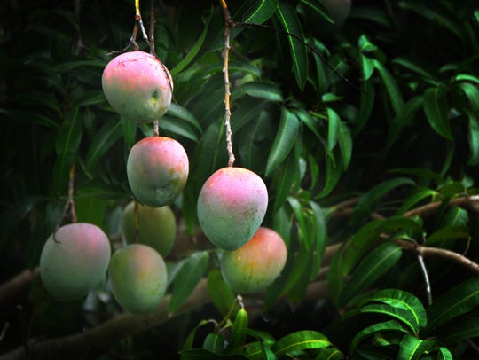 Local mangoes began ripening in June, and will remain
