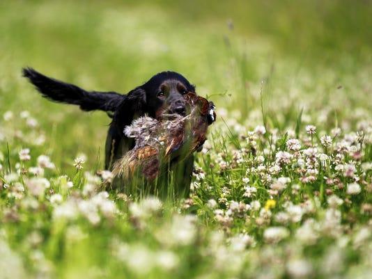 vtd1101 Pheasant Hunting2.jpg