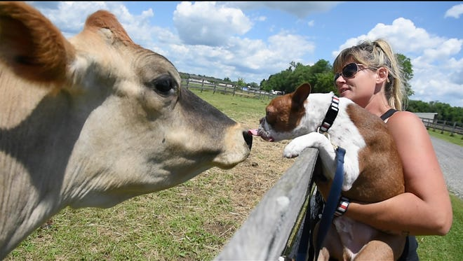 Libra gives a kiss to Meatball  while he and Janine Guido visit with the cow at Speranza Animal Rescue on Tuesday. Guido, who is founder and president of the rescue in Mechanicsburg adopted Libre after the puppy's life was saved last year from severe neglect.