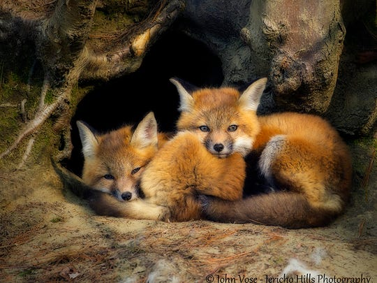 Two fox kits rest by the entrance of their den in Lyme, N.H.