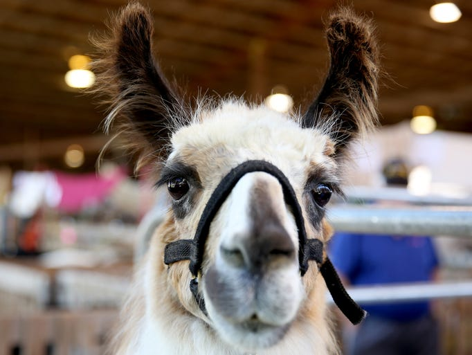 Sandy, a llama being shown at the Oregon State Fair,