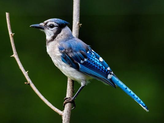 Blue Jay. Photo by Gerald Berliner