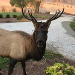 Apparently taking a liking to the people of the Upstate, rare elk returns