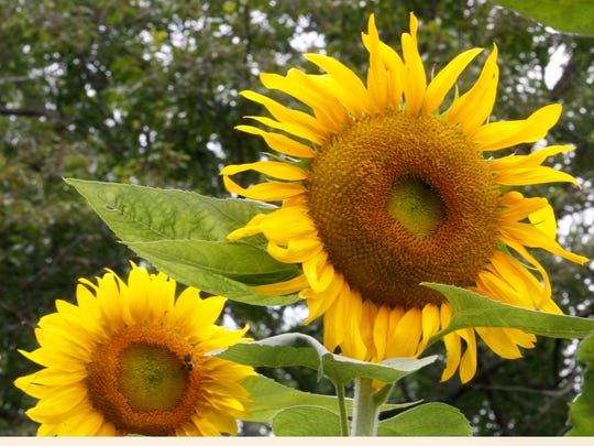 The common sunflower is a wonderful choice both for yourself and for the birds and pollinators that come to your garden.