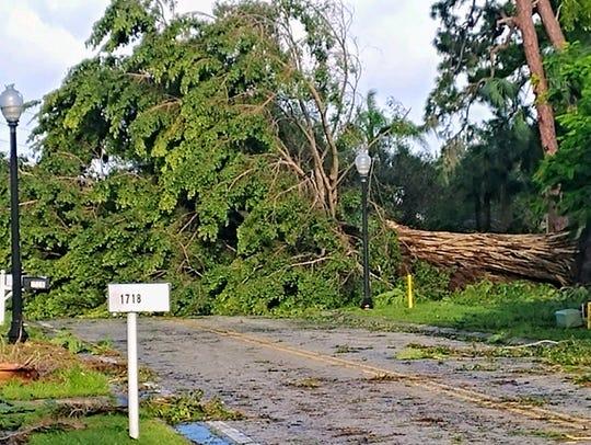 A giant tree toppled by Hurricane Irma fell across