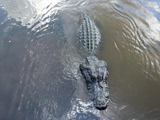 Oviedo's Black Hammock Fish Camp on Lake Jesup offers airboat rides through Central Florida marshlands to spot Florida wildlife including the largest lake population of alligators in North America.