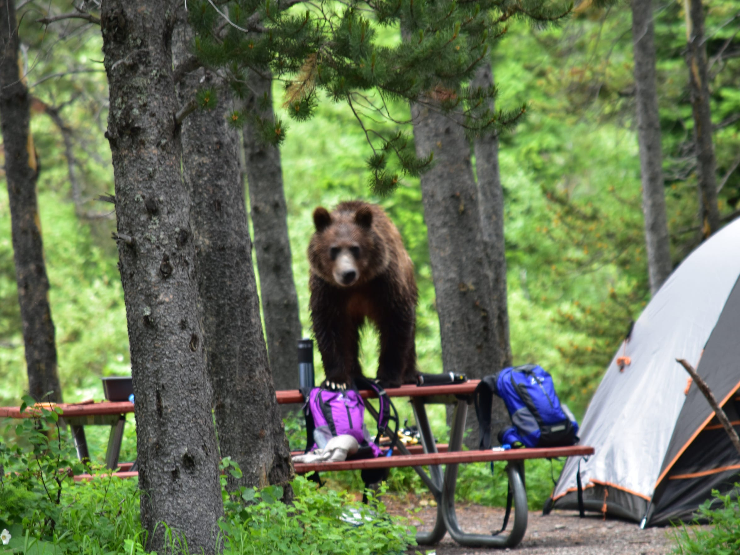 A grizzly climbed on top of a picnic table and consumed