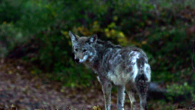 A police officer shot a coyote on private property in Mamaroneck in 2005.