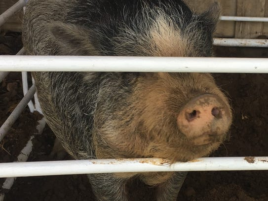 A pig looks out from its pen at the animal evacuation