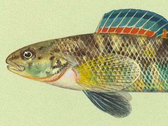 The newly-restored version of Iowa artist Maynard Reece's original painting of a rainbow darter.
