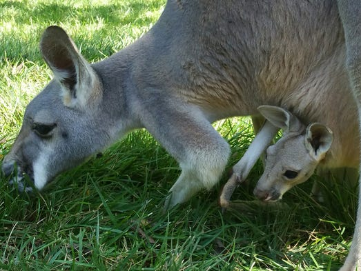 . A mother kangaroo grazes while her baby (called a