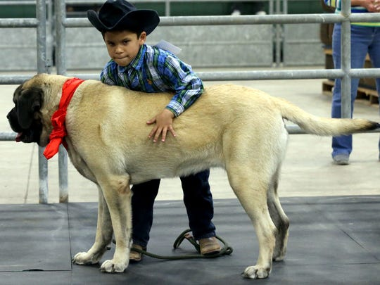 Damien Juarez tries to straighten Nala before they get judged during the 82nd Nueces County Junior Livestock Show Fun & Free Dog Show on Saturday, Jan. 14, 2017, at the Richard M. Borchard Fairgrounds in Robstown.