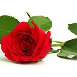 Red rose on white