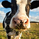A medium-sized herd of dairy cows in Michigan's northeastern Lower Peninsula has tested positive for bovine tuberculosis.