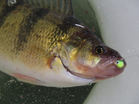 """A yellow perch about 13 inches in length comes to the top of the ice on Devils Lake. The lake's strong population of """"jumbos"""" draw anglers from around North America, including many from Wisconsin."""