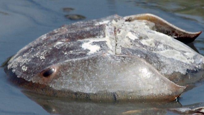 A horseshoe crab near Mispillion Harbor.