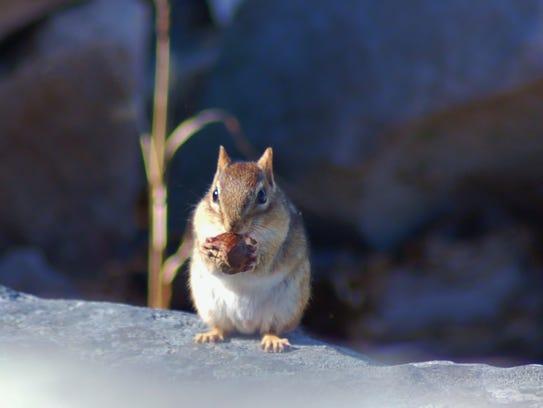 Even little chipmunks can be carriers of deer ticks.