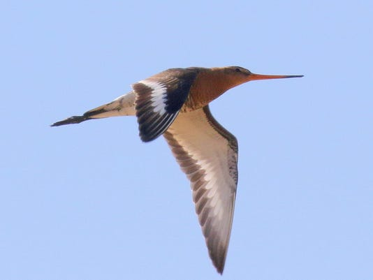black-tailed godwit.jpg