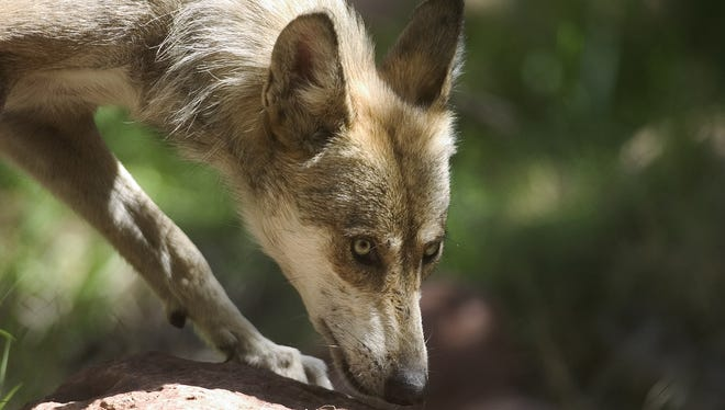 A  young adult female Mexican wolf roams the exhibit at the Phoenix Zoo.